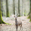 Young male sika deer — Stock Photo