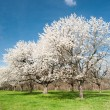 Blossoming trees — Stock Photo