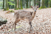 Cute young sika deer fawn — Stock Photo