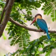 Bird, Stork-billed Kingfisher, Perched, Tree branch, green leaves, waiting patiently — Stock Photo