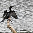 Bird, Little Cormorant, Phalacrocorax niger, basking in sun, per — Stock Photo