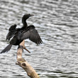 Stock Photo: Bird, Little Cormorant, Phalacrocorax niger, basking in sun, per