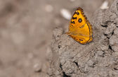 Mariposa pavo real pensamiento junonia almana secado alas de barro extendidas — Foto de Stock