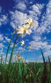 Spring daffodils. — Stock Photo