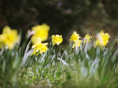 Spring daffodils — Stock Photo