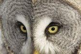 伟大灰色猫头鹰或拉普兰猫头鹰南纬 strix 猫科 — 图库照片