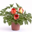 Nettle with tulips in flowerpot — Stock Photo