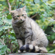 Shy european wildcat (Felis silvestris silvestris) — Stock Photo