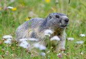 Groundhog on alpine flower meadow — Photo