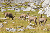 Grupo de íbex — Fotografia Stock