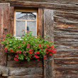 Withered window with geranium decoration — Stock Photo