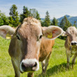 Brown swiss cows — Stock Photo