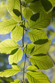 Fresh green backlighted glowing leaves in spring sun on a twig — Stock Photo
