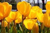 Close-up de tulipas amarelas — Foto Stock