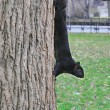 Black squirrel on a tree trunk — Stock Photo