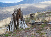 Eradicated forest at mount Saint Helens — Stock Photo