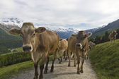 Cow herd in the alps — Stock Photo