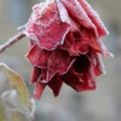 Frozen red rose - Stock Photo