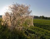 Haşere tırtılların bütün bush sarın — Stok fotoğraf