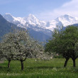 Blossoming trees in front of snow capped mountains — Стоковая фотография