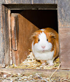 Guinea pig welcomes guests — Stock Photo