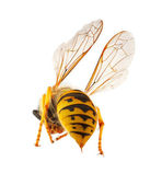 Wasp presenting it's threatening stinger — Stock Photo