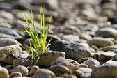 Single tuft of grass in stone desert — Stock Photo