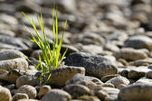 Single tuft of grass in stone desert — Stock Photo