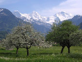 Blossoming trees in front of snow capped mountains — Stock Photo