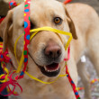 A dog entangled in paper decoration at ZueriCarneval Fasnacht move — Stock Photo