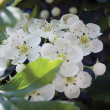 Stock Photo: White Hawthorn Blossom