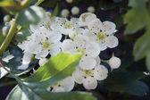 White Hawthorn Blossom — Stock Photo