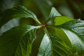 Wet Virginia Creeper Leaves Closeup — Stock Photo
