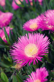 Carpobrotus edulis - Ice plant — Stock Photo