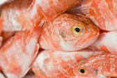 Redfish — Photo