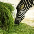 A zebra eating grass — Stock Photo