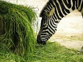 A zebra eating grass — 图库照片