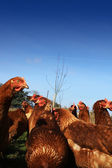 Brown Hens 3 — Stock Photo