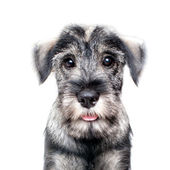 Funny schnauzer puppy — Stock Photo