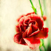 Textured old paper background with red carnation — Stock Photo