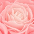Rose background — Stock Photo #9112355