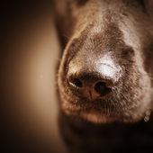 Dog nose over dark — Stock Photo