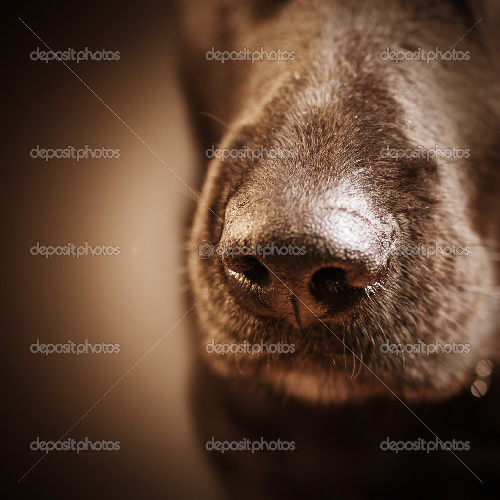 Dog nose over brown — Stock Photo #9472614