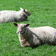 Royalty-Free Stock Photo: Couple of irish sheep