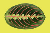 Maranta plant leaf — Stock Photo