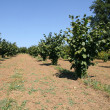 Hazelnut  plantation — Stockfoto