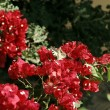 Stock Photo: Mediterranered flowers - bougainvillea