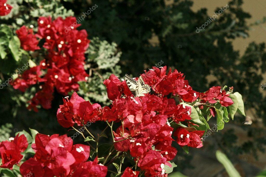 mediterrane rote blumen bougainvillea stockfoto gortan 8087685. Black Bedroom Furniture Sets. Home Design Ideas