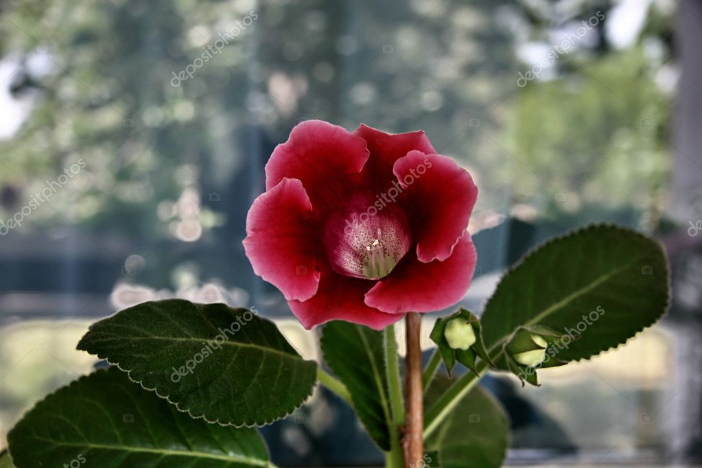 Happy Gloxinia flower on the window ,background — Foto Stock #8147169