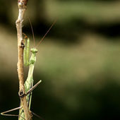 Praying Mantis on the bough — Stock Photo